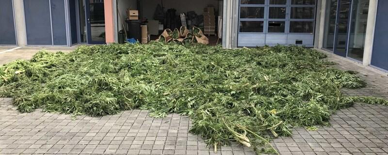 Cannabispflanzen im Maisfeld, © Foto: Kriminalpolizei Fürstenfeldbruck