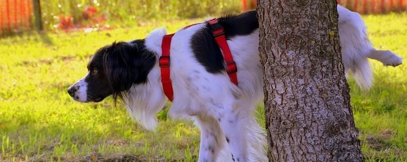 Ein Hund der pinkelt