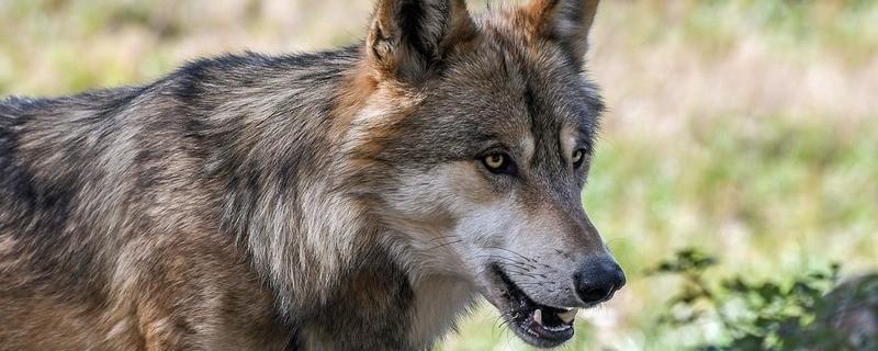 Wolf, © Symbolfoto