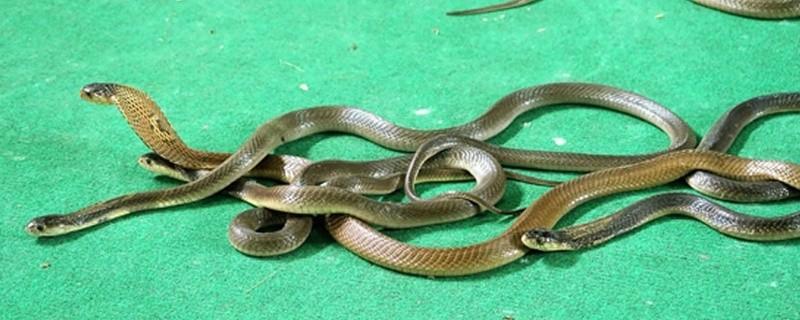 Schlangen, Kobras, © Symbolfoto