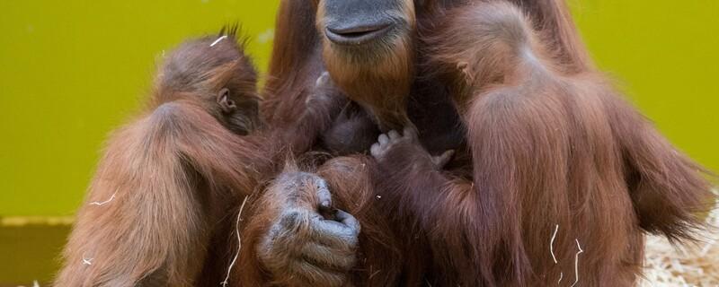 © Orang-Utan-Dame Jahe mit ihrem Baby. Bild: Tierpark Hellabrunn/Marc Müller