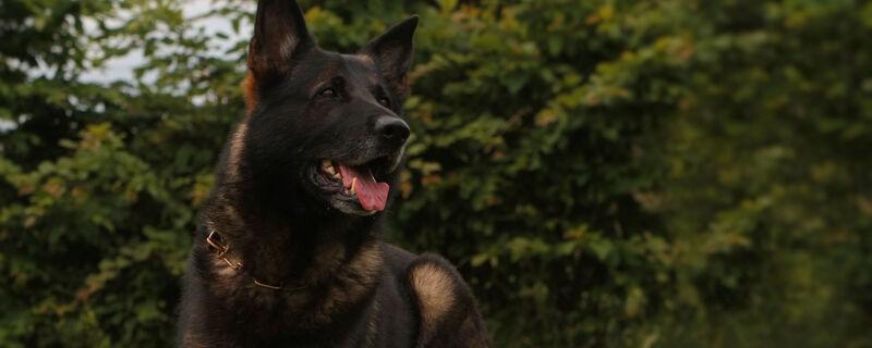 Zoll Spürhund Vimo, © Foto: Zoll