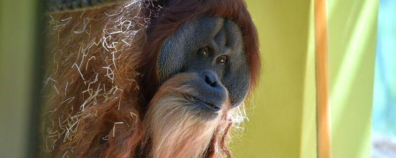 © Orang-Utan Bruno - Foto: Tierpark Hellabrunn / Sarah Held