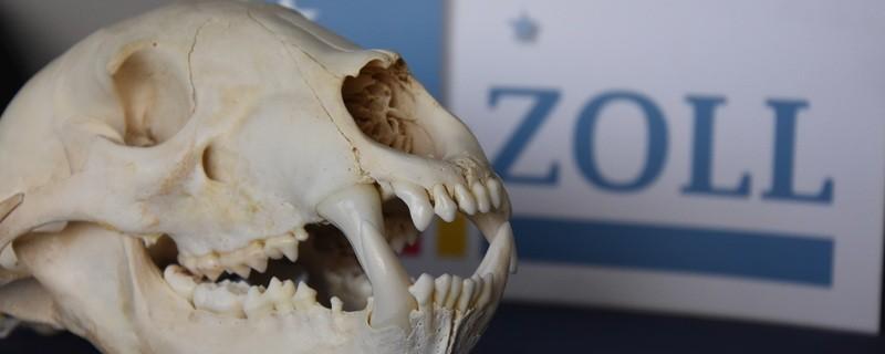 Diesen präparierten Bärenschädel entdeckten Zöllner am Münchner Flughafen in einem Paket, © Zoll