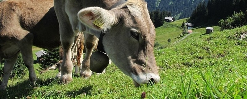 Eine Kuh mit Kuhglocke , © (Symbolfoto)