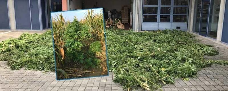 marihuana cannabis im maisfeld entdeckt dachau