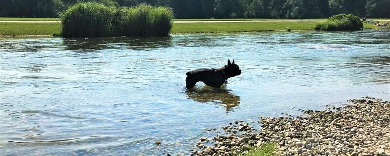 Hund kühlt sich im Englischen Garten im Wasser ab