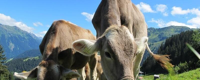 Kühe beim Grasen, © Symbolbild
