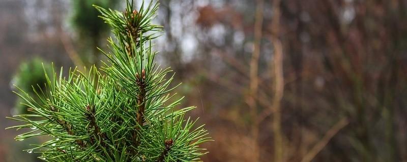 grüner Zapfen, © Symbolbild