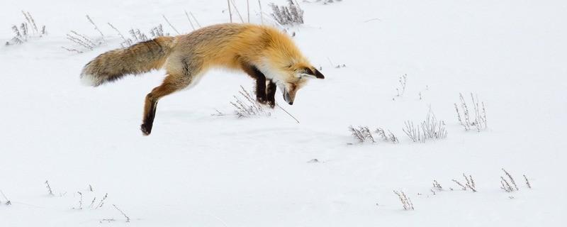 Ein Fuchs springt im Schnee