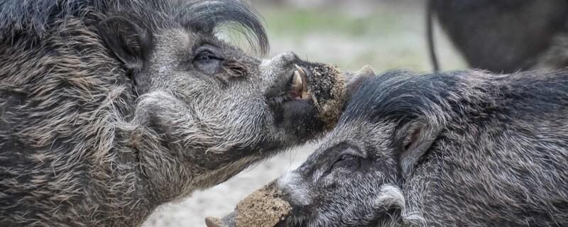 Visayas-Pustelschweine in Hellabrunn, © Bilder: Tierpark Hellabrunn / Daniela Hierl