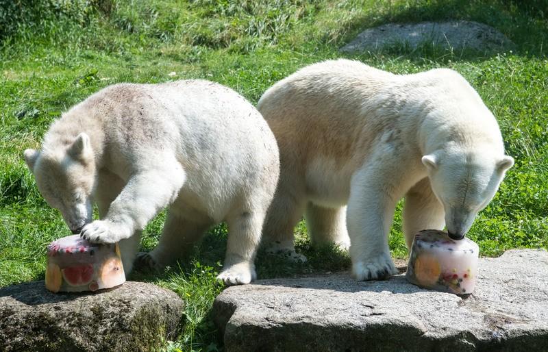 Eisbären mit erfrischender Abkühlung in Hellabrunn, © Hellabrunn - Marc Müller