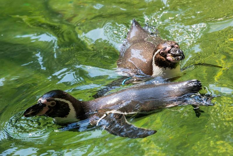 Humboldtpinguine schwimmen im Wasser , © Hellabrunn - Marc Müller