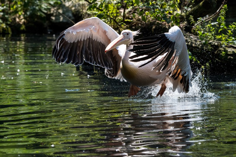 Pelikane erfrischen sich bei der Hitze, © Hellabrunn - Marc Müller