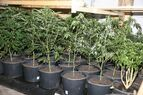 marihuana-3-lka, © LKA