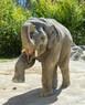 Asiatischer Elefant Ludwig Hellabrunn, © Foto: Tierpark Hellabrunn - Marc Müller
