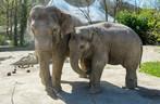 Asiatischer Elefant Ludwig Mutter Temi Hellabrunn, © Foto: Tierpark Hellabrunn - Marc Müller