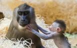 Das kleine Affenbaby begeistert den Tierpark Hellabrunn, © Das freche Affenbaby begeistert den Tierpark - Foto: Tierpark Hellabrunn/Marc Müller