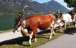 Kühe mit Glocken am See, © Achensee Tourismus
