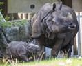 Panzernashornbaby im Tierpark Hellabrunn mit der Mutter, © Foto: Marc Müller