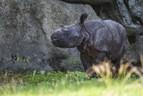 Panzernashornbaby im Tierpark Hellabrunn, © Foto: Marc Müller
