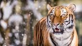 Sibirischer Tiger im Winter Hellabrunn, © Sibirischer Tiger - Foto: Tierpark Hellabrunn/Annette Wagner