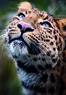 Leopard Julius im Tierpark Hellabrunn in München, © Foto: Tierpark Hellabrunn/Annette Wagner