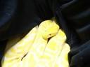 Schlange, Würgeschlage, Gandenhof, © Eine seltene Albino Tigerpython