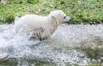 Eisbärin Quintana tollt im Wassergraben, © Foto: Tierpark Hellabrunn/Marc Müller