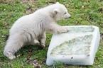 Eisbärin Quintana erkundet ihr Geschenk, © Foto: Tierpark Hellabrunn/Marc Müller